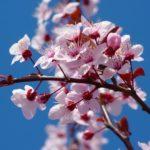 Il fiore cherry plum