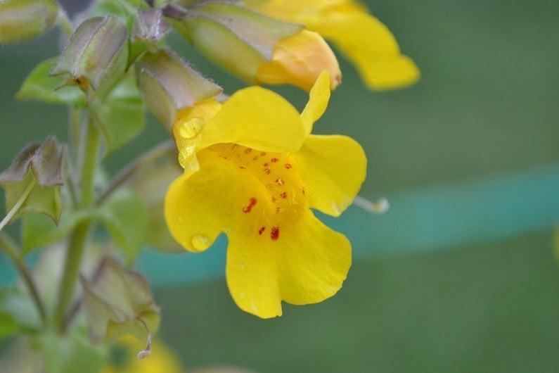 Il fiore mimulus