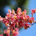 Il fiore chestnut red