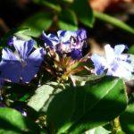 Il Fiore Cerato