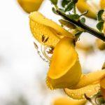 floriterapia di bach ginestra