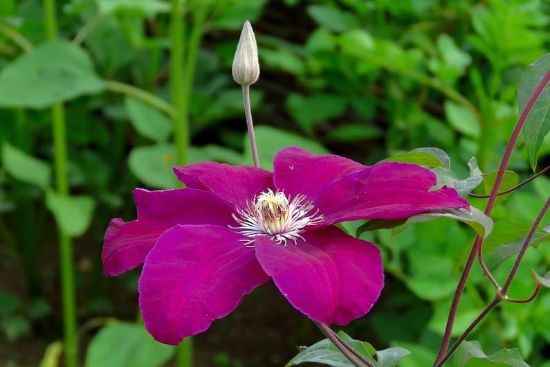 Il Fiore Clematis