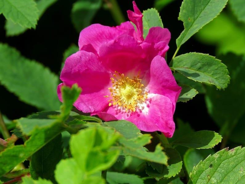 Fiore Rosa Canina