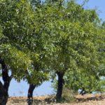 Pianta di olivo