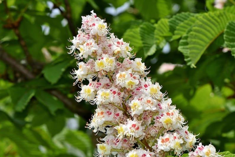 FLORITERAPIA DI BACH: WHITE CHESTNUT