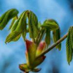 Fiore del chestnut bud