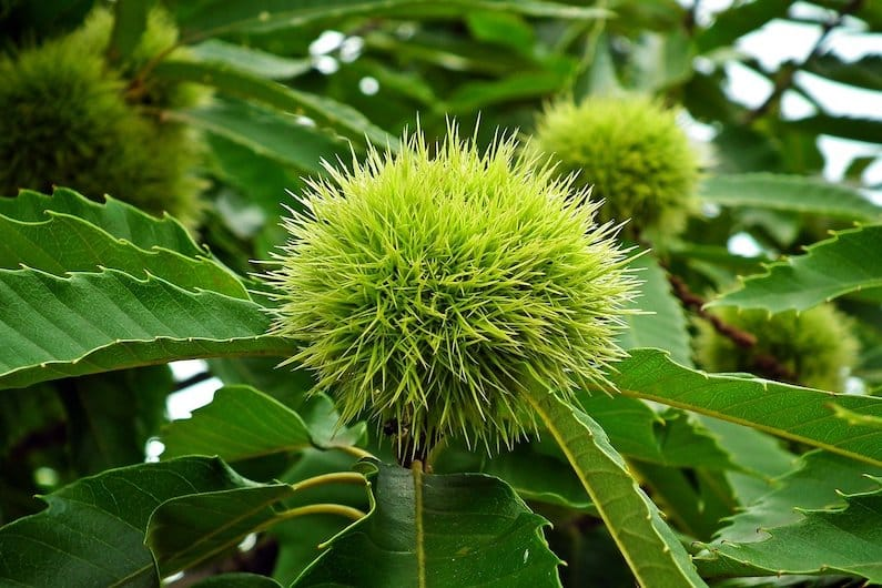 SWEET CHESTNUT: FLORITERAPIA DELL'ANGOSCIA