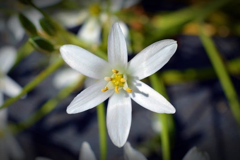 STAR OF BETHLEHEM, LA FLORITERAPIA DEL TRAUMA